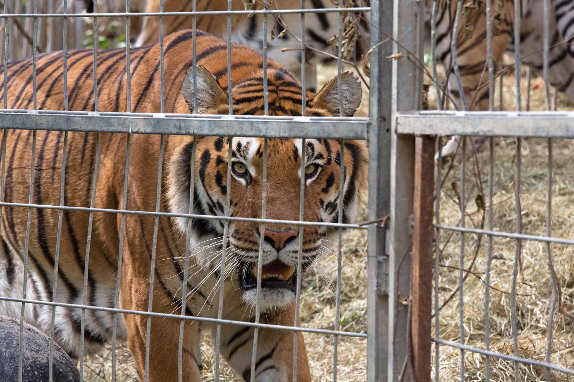 Heute haben die Tiger ein größeres Freigehege...