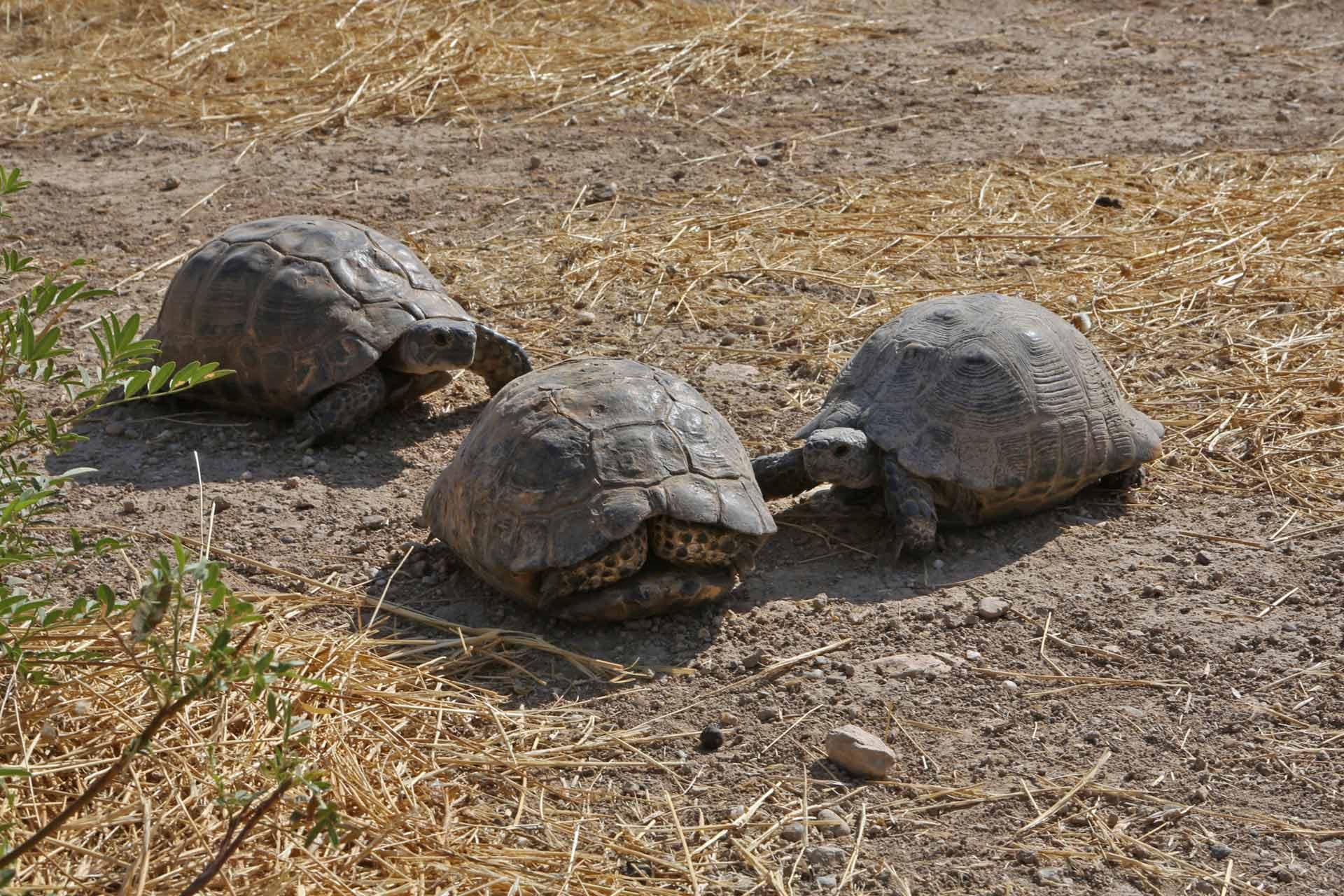 Frei lebende Schildkröten unweit des Tigris.