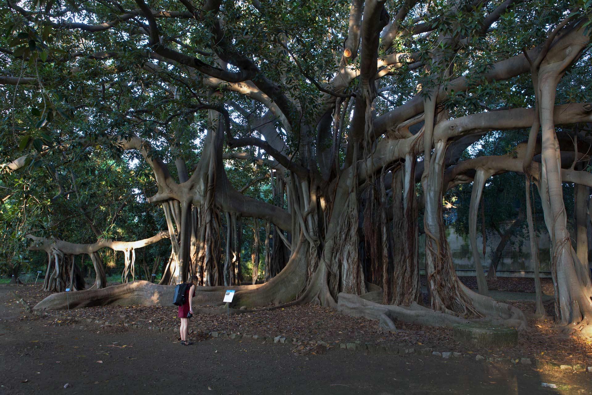 Ein riesiger Banyan-Baum (Ficus benghalensis) im Orto Botanico, dem Botanischen Garten von Palermo – A huge Banyan tree (Ficus benghalensis) in the Orto Botanico, the botanical garden of Palermo